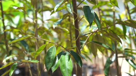urlop : Young baby durian tree in farm nursery. Wideo