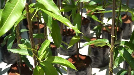 manga : Young mango tree, nursery seedlings. Stock Footage