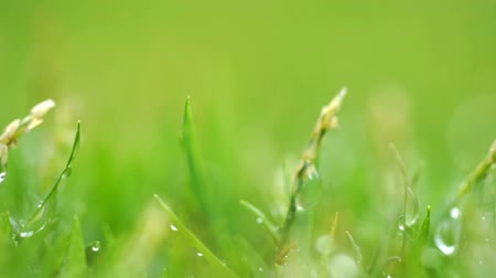 turf : Close up green grass with rain drops background. Stock Footage