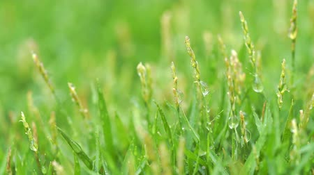 yağmur yağıyor : Close up green grass with rain drops background. Stok Video