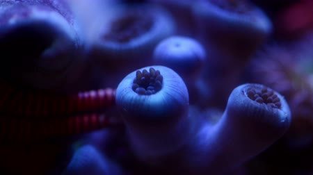 muszla : Close up miami vice zoa coral and hermit crab moving, 4k time lapse video.