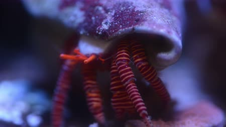 muszla : Hermit crab moving in underwater, time lapse 4k close up video.