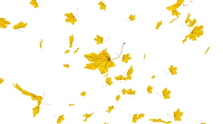 Close-up on falling golden maple leaves on white background. Autumn, fall concept. Slow motion, HD realistic 3D animation. Stock mozgókép
