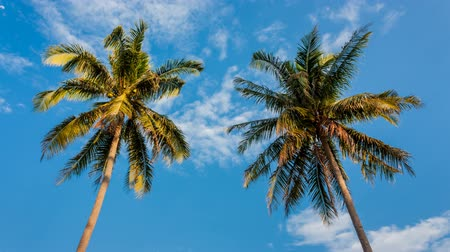 coconut palm tree : Coconut tree on daylight summer
