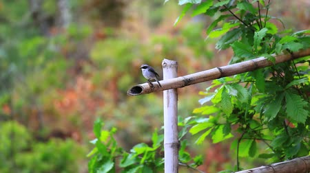 bamboo forest : grey bushchat in bhutan Stock Footage