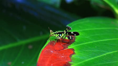 gafanhoto : grasshopper dancing on a green leaf