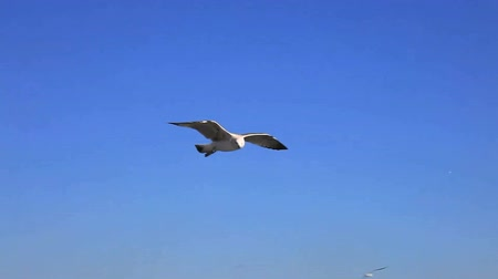 птица : Seagull flying