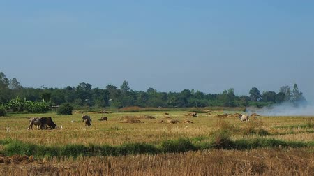 View of paddy field in the rural after harvest.Farmer get rid of staw by burning