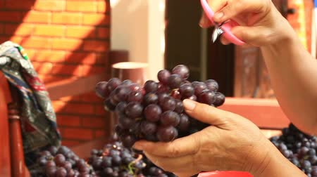 Woman trimming bad grapes off the bunch before packing