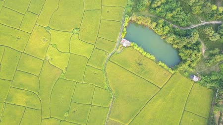 Aerial shot of paddy field in Thailand