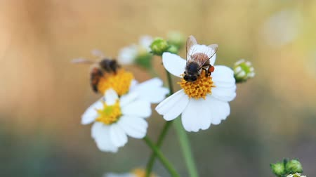 Bees pollinating and sucking nectar from white flowers in a garden and flying away