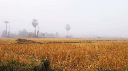Morning view of after harvested rice field in Thailand Stok Video