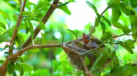 Hungry newborn streak-eared bulbul birds waiting for their mother in the nest