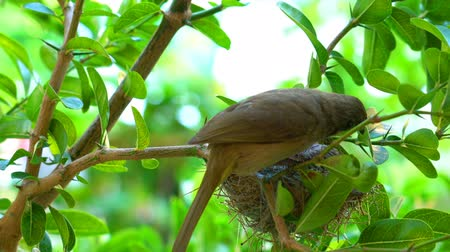 Female streak-eared bulbul bird cleaning its baby and flying away