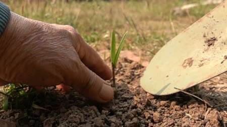 Old man dig the ground with shovel and plant a small palm tree in Slow Motion