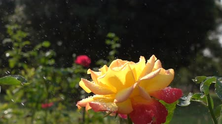 občerstvení : Spray water to a red yellow rose flower in a botanical garden in Slow Motion Dostupné videozáznamy