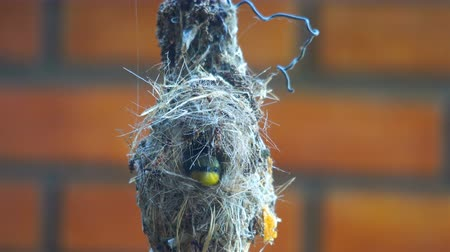 Female sunbird hatch her eggs in the nest and washing out of the window