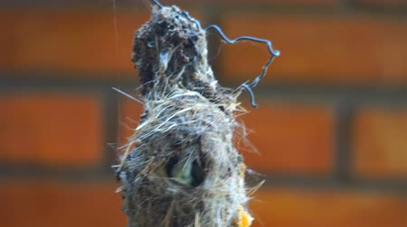 Female sunbird return to the nest for hatching her eggs after leaving for food