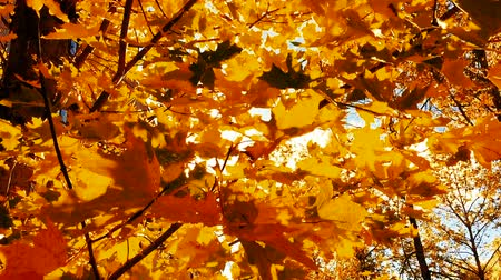 red maple : Maple leaves in Autumn. Stock Footage