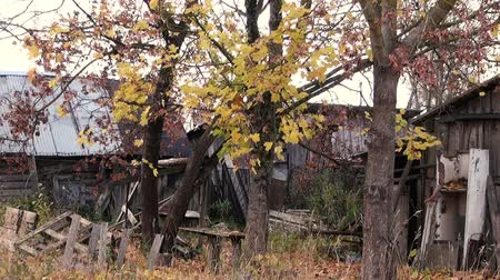 проливая : Autumn in Russia. Branches of trees in autumn on a background of destroyed wooden buildings.