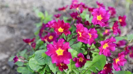 kankalin : Beautiful flowers Primula swaying in the wind.