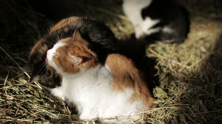 hayloft : Cats are clean in the hayloft Stock Footage