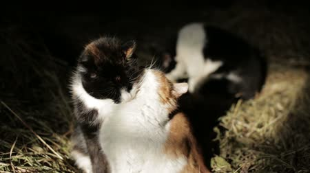 hayloft : Cats lick each other in the hayloft Stock Footage