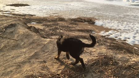 Black dog walks along the coast of the gulf in the spring. Slow motion video. 影像素材