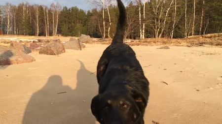Black dog running on the sand directly into the camera lens direction. Slow motion video.