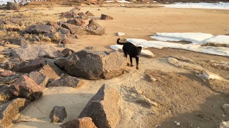 Black dog runs on the coast with stones. Slow motion video.