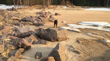 Black dog runs on the coast with stones and snow.