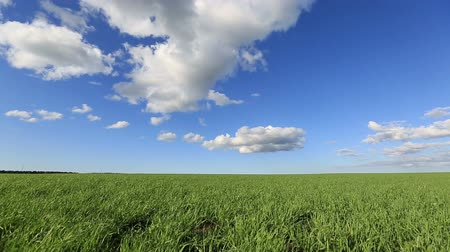 Green field and blue sky and the wind. field on a background of the blue sky