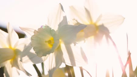 narciso : White narcissus close up against the sun. Video full hd.