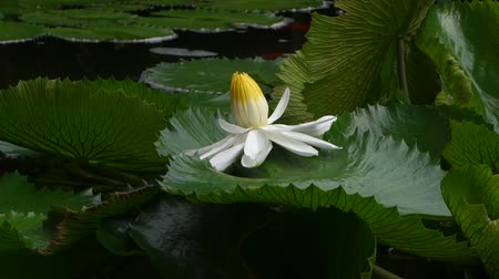 Water lily in a pond with koi fish in a garden