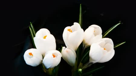 blooms : White Crocus Bloom, timelapse, snowdrops