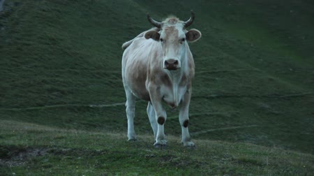 скот : Bull in the background of green hills at dusk. Adjaria Kintrishi Nature Reserve
