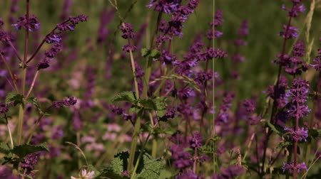 pratensis : Salvia meadow closeup