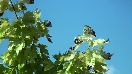 magasság : Sere plane tree leaves swaying in the wind on a summer day