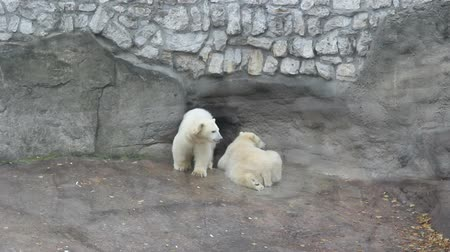 полярный : Two white polar bears in Moscow zoo Стоковые видеозаписи