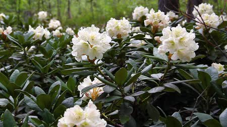 rhododendron : Caucasian rhododendron blooms in the woods Stock Footage