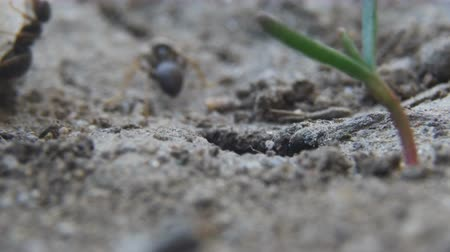 antenas : ants get out of the hole Stock Footage