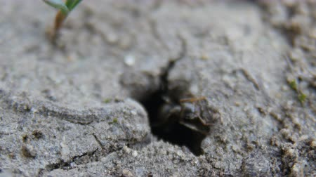 энтомология : ants get out of the hole Стоковые видеозаписи