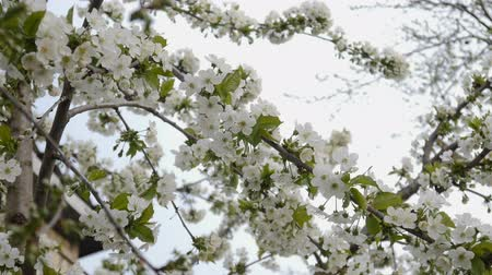 nisan : white cherry blossom Stok Video