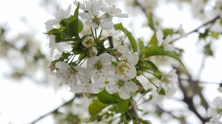 grass flowers : white cherry blossom Stock Footage