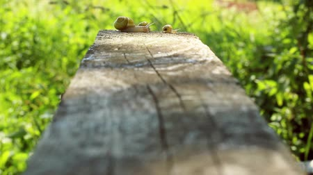 Snail Creeps Through The Board In The Garden. Wood Board.