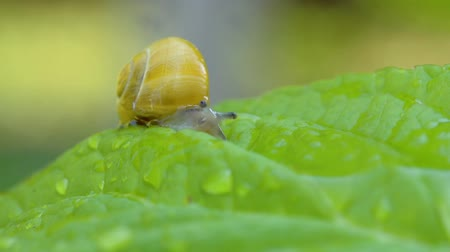 caracol : Snail Creeps In The Garden. Leaf And Grass