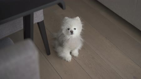 looks at the camera : Small white dog sitting at floor Stock Footage