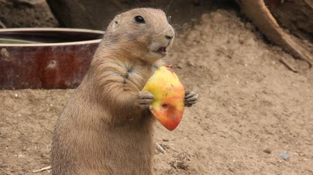 gnawer : Prairie dog chews an apple Stock Footage