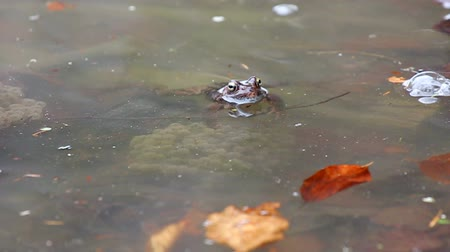 rana : Swimming frog and frog near spawn in a water