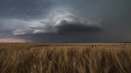 iluminado para trás : Thunderstorm and infinite wheat field. Gloomy summer weather. On the sky there are thick, gray Stock Footage